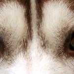Siberian_Husky_heterchromia_edit